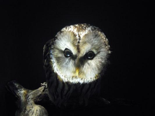 Ural Owl at Naturhistoriska riksmuseet