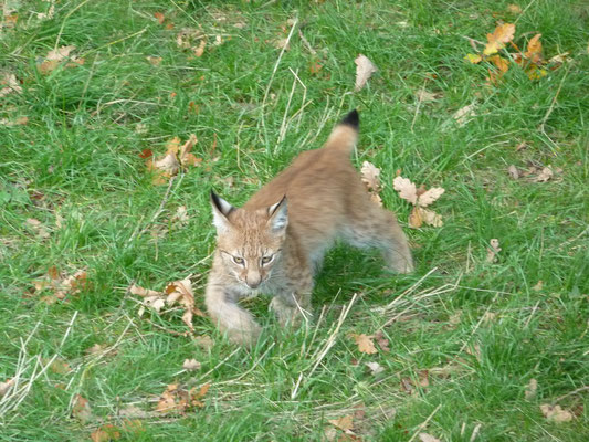 Lynx offspring at Skansen