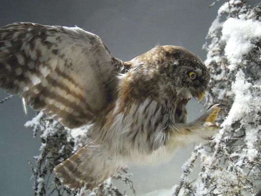 Pygmy Owl at Naturhistoriska riksmuseet