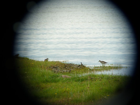 at Sandemar naturreservat south of Stockholm (Wood Sandpiper)
