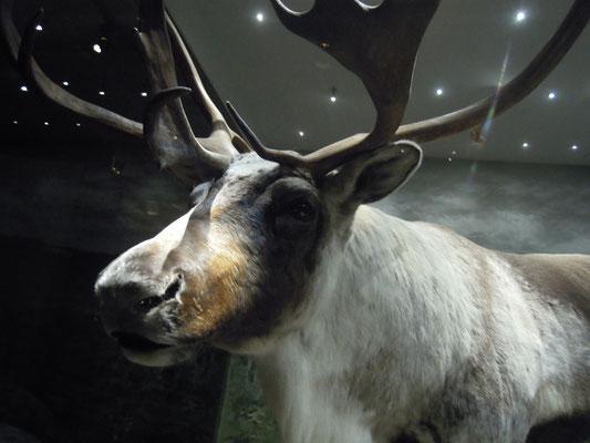 reindeer at Naturhistoriska riksmuseet