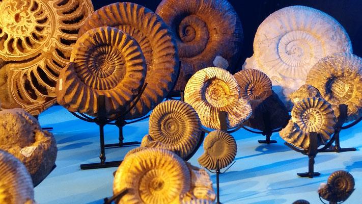 Ammonites in NRM