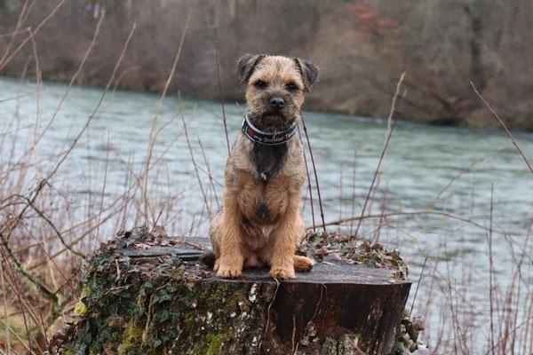 Border Terrier Malu