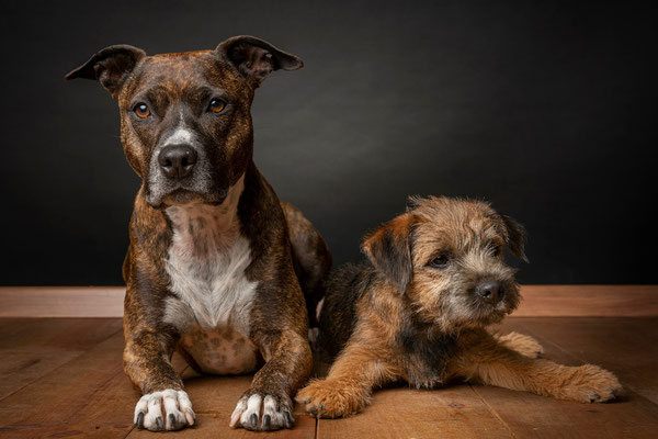 Border Terrier Camiro Amstaff Jil