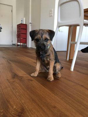 Border Terrier Pixel