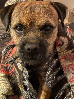 Border Terrier Kiwi