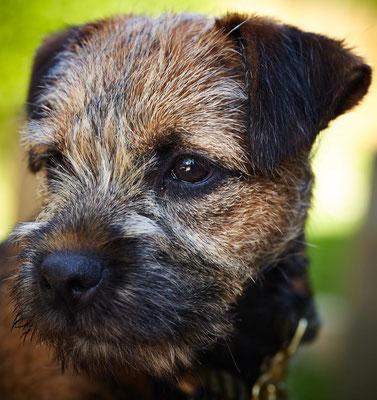 Border Terrier Xaro