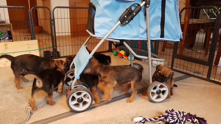 Welpen Border Terrier Zucht