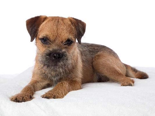 Border Terrier Bijou