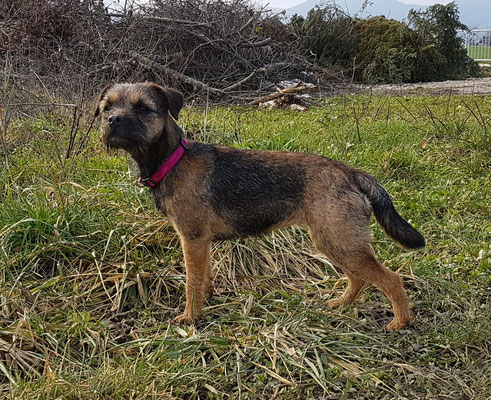Mira Border Terrier