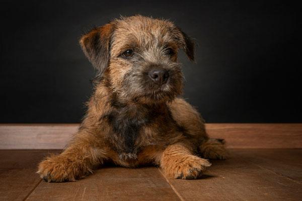 Border Terrier Camiro