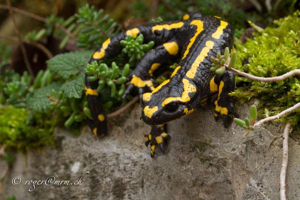 Gebänderter Feuersalamander Salamander salamandra terrestris