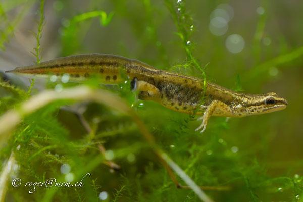 Fadenmolch Lissotriton helveticus