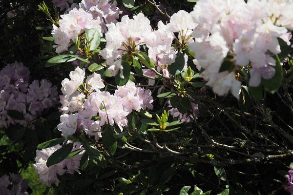 rose pâle du rhododendron au le jardin du gite le bout des bois