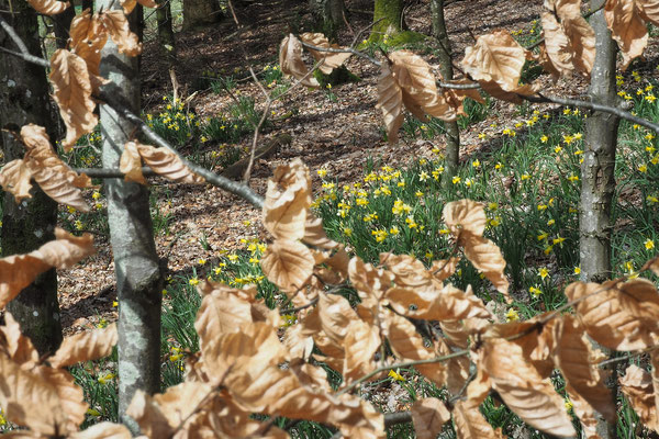 Dafodils are sign of spring in the Ardennes forest.  Copyright photographe : A. Stélandre