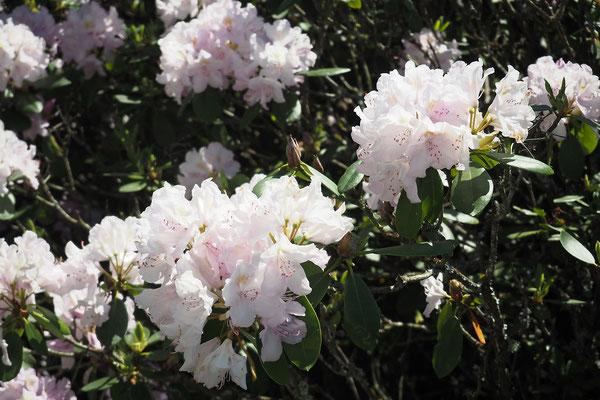 genrhododendron rose dans le jardin du chaletle bout des boisêts