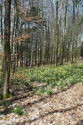 Les jonquilles dans les sous-bois annoncent le printemps. Copyright photographe : A. Stélandre