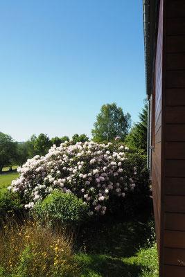 rhododendron rose dans le jardin du gite le bout des bois