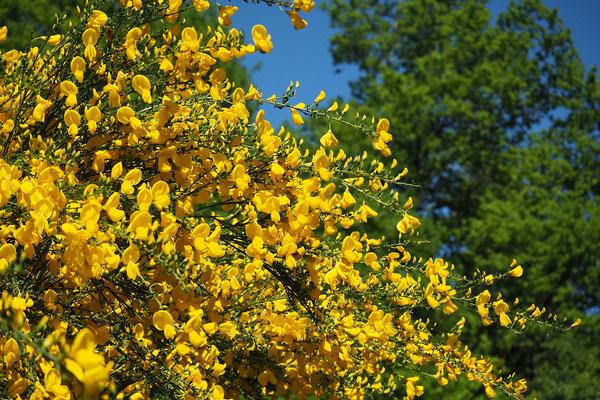 genêts en fleur au jardin du chalet le bout des bois