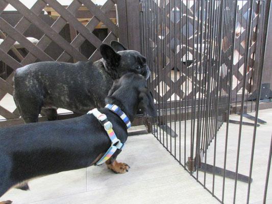犬の保育園Baby・犬・犬のしつけ・犬の社会化・習志野市・八千代市・船橋市・お預り