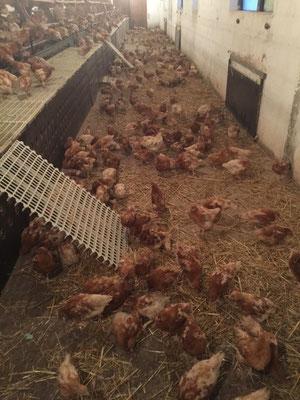 Zwischen Boden und Nestern klettern die Hühnchen auf solchen Rampen.