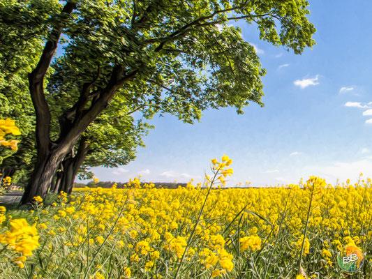 Rapsblüte im Havelland