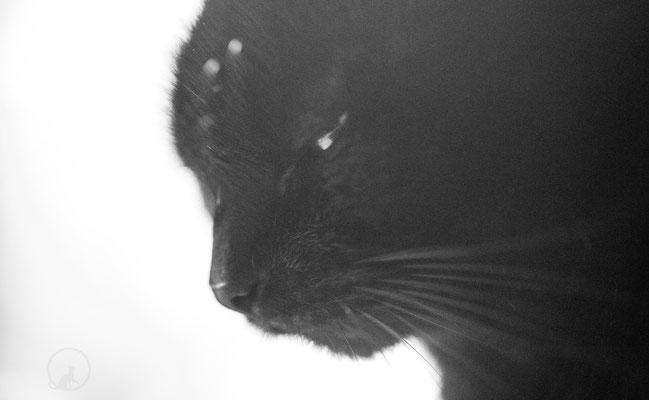 Schwarze Katze Poprtrait