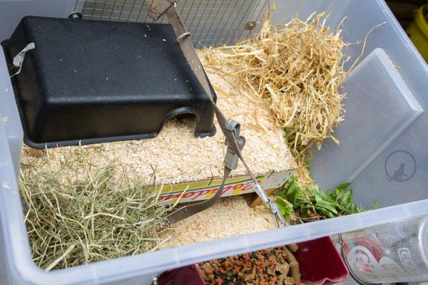 Rattenzuchtbox