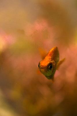 lachsroter Regenbogenfisch Männchen