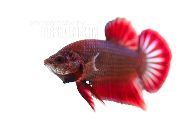 Betta splendens male Plakat multi/red