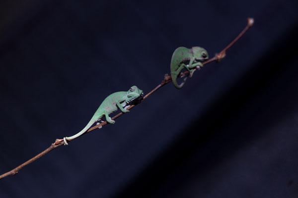Chamaeleo calyptratus Nachzucht