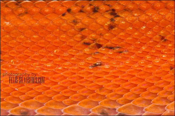 Corallus hortulanus juventil rot schuppenmakro