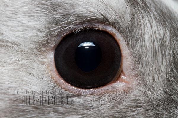 Kaninchen Auge