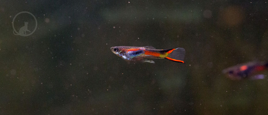 Endler Guppy