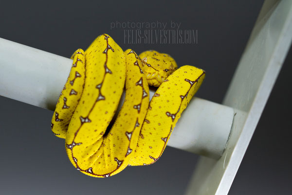 Morelia viridis Sorong X Cyclops/Sorong 2 Monat Naturbrut
