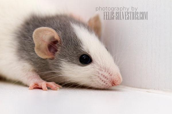 Ratte Portrait