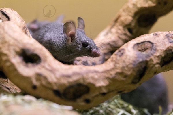 afrikanische Maus