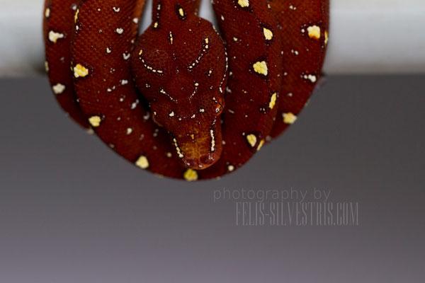 Morelia viridis Sorong X Sorong/Hochland