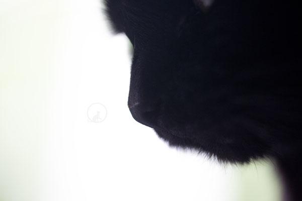 Schwarze Katze Makro