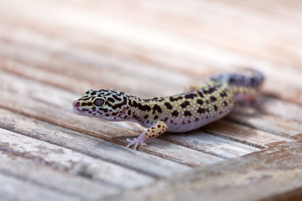 "Leopardgecko Weibchen ""Bolt Striped"""