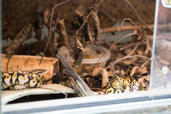 Python regius, Aufzucht im Terrarium
