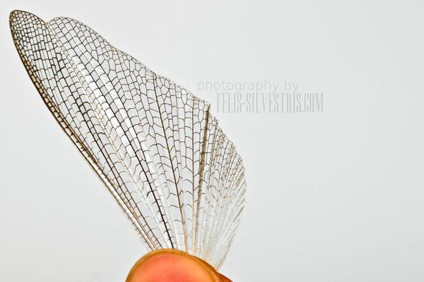 Heuschreckenflügel