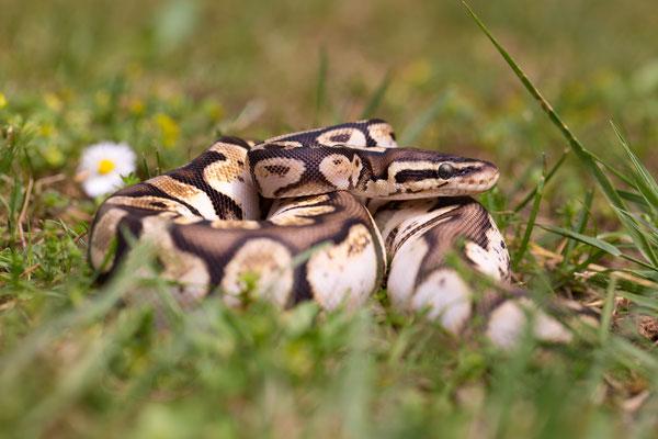Python regius Calico Pastel