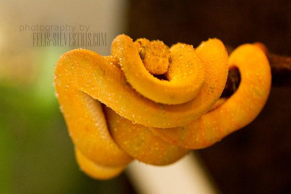 Corallus hortulanus gelb