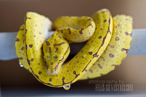 morelia viridis Sorong HY X Lereh 6 Monate