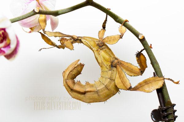 Gespensheuschrecke