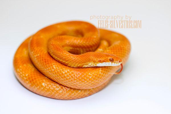 Salinski Mandarin