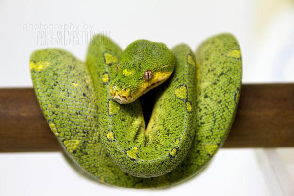 Wamena Yellow Spot melanistisch
