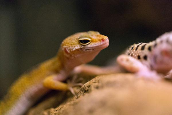 """Juventiler Leopardgecko """"RAPTOR"""""""