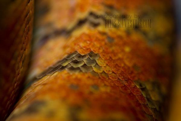 multicolored Corallus hortulanus Schuppenmakro